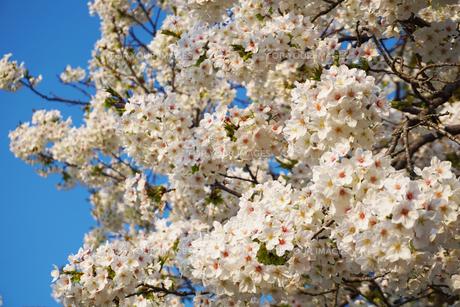 満開の桜の花の写真素材 [FYI01177897]