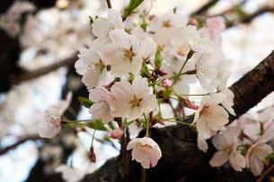 桜の花の写真素材 [FYI01177900]