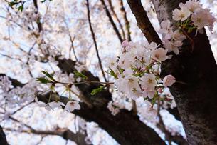 桜の花の写真素材 [FYI01177901]