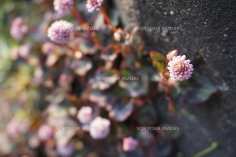 ヒメツルソバの花の写真素材 [FYI01177902]