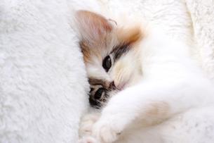 スコティッシュフォールドの子猫の写真素材 [FYI01178010]