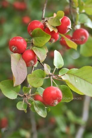 木の実(クランベリー)の写真素材 [FYI01178071]