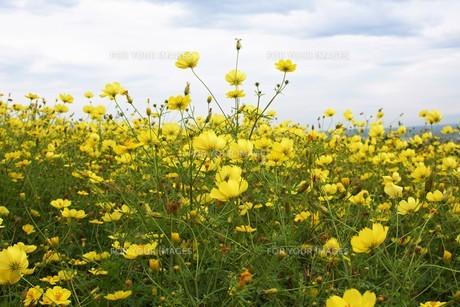 中富良野の風景 花畑風景(コスモス)の写真素材 [FYI01178084]