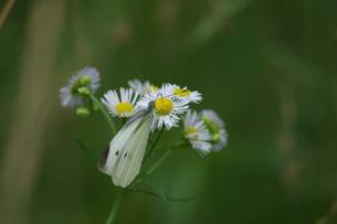 白い花モンシロチョウの写真素材 [FYI01178143]