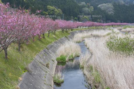鮫川の八重桜並木の写真素材 [FYI01178144]
