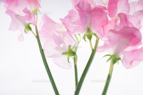 ピンクのスイートピーの写真素材 [FYI01178150]