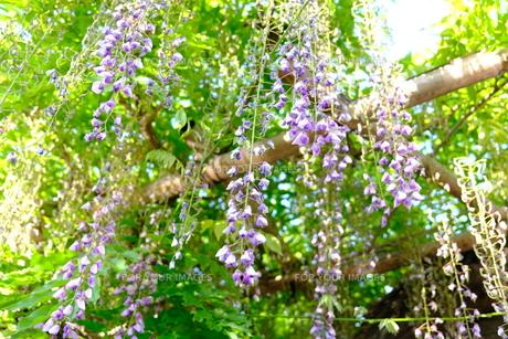 藤の花の写真素材 [FYI01178356]