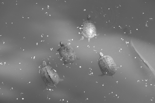 群れるカメたちの写真素材 [FYI01178358]
