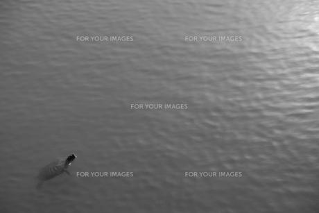 穏やかな水辺に浮かぶ一匹の亀の写真素材 [FYI01178360]