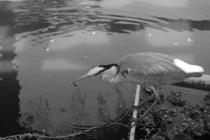 アオサギが魚を捕まえた瞬間の写真素材 [FYI01178363]