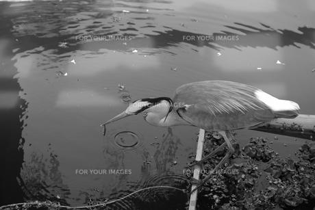 アオサギの捕食シーンの写真素材 [FYI01178365]