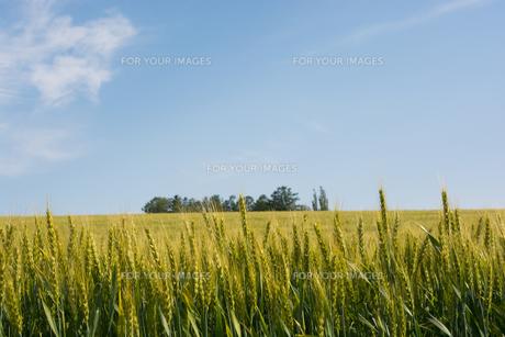 緑のムギ畑と青空 美瑛町の写真素材 [FYI01178478]