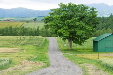 田舎のジャリ道と緑の大きな木の写真素材 [FYI01178484]