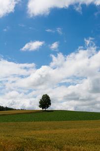 丘の上に立つシラカバの木の写真素材 [FYI01178495]