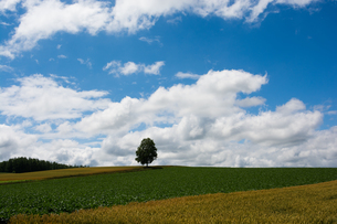 丘の上に立つシラカバの木の写真素材 [FYI01178496]