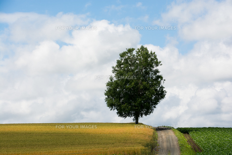 丘の上に立つシラカバの木の写真素材 [FYI01178497]