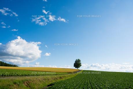 丘の上に立つシラカバの木の写真素材 [FYI01178498]