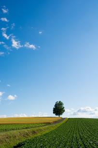 丘の上に立つシラカバの木の写真素材 [FYI01178499]