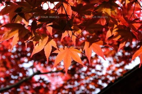 鮮やかな紅葉の写真素材 [FYI01178599]