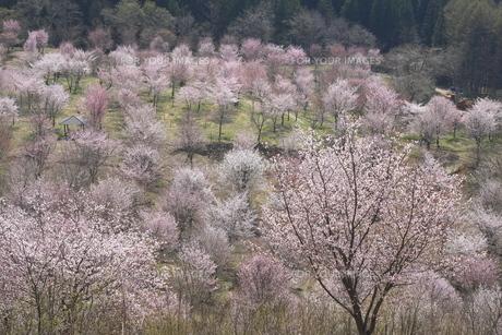 桜峠の桜群の写真素材 [FYI01178607]