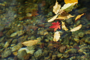 落ち葉の写真素材 [FYI01178647]