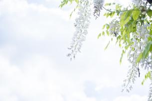 藤の花と空の写真素材 [FYI01178936]