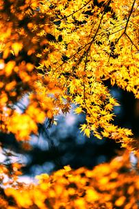 風景 背景 自然 紅葉 黄葉の写真素材 [FYI01179074]