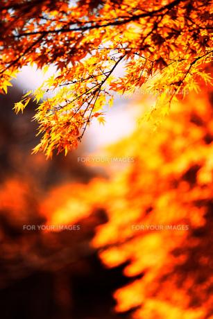 風景 背景 自然 紅葉 黄葉の写真素材 [FYI01179085]