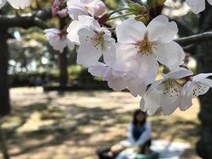 桜の写真素材 [FYI01179398]