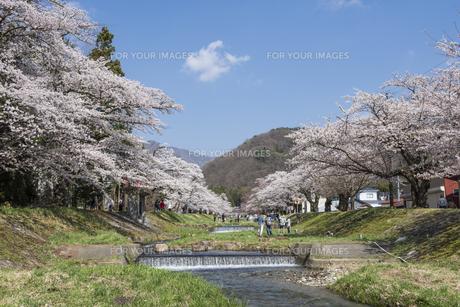 観音寺川の桜並木の写真素材 [FYI01179590]