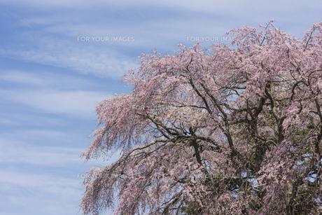 白津のしだれ桜の写真素材 [FYI01179591]