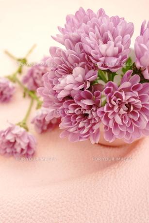 ピンクの菊の花の写真素材 [FYI01179665]