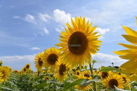 向日葵の写真素材 [FYI01180017]