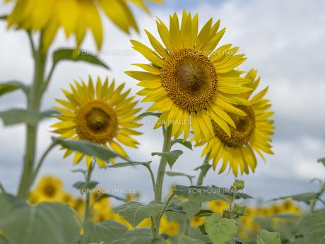 ひまわり 畑の写真素材 [FYI01180161]