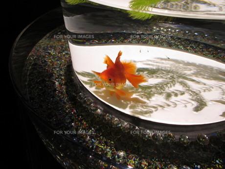 金魚の写真素材 [FYI01180216]