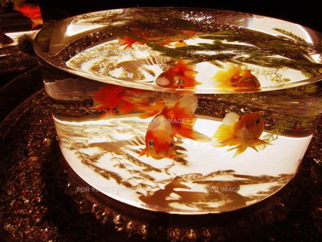 金魚の写真素材 [FYI01180218]