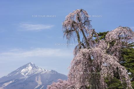 しだれ桜と磐梯山の写真素材 [FYI01180358]