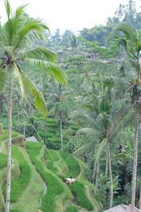 バリ島 ライステラスの写真素材 [FYI01180519]