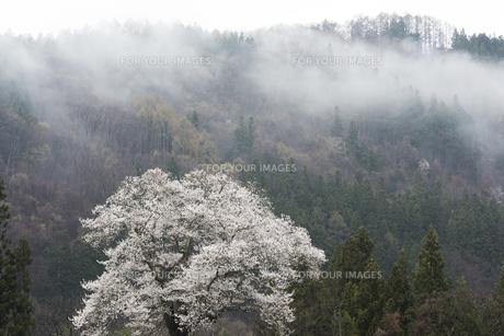 春雨の水門の種蒔桜の写真素材 [FYI01180572]