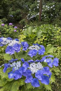 青いガクアジサイの写真素材 [FYI01180573]