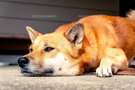 伏せをする犬の写真素材 [FYI01180590]