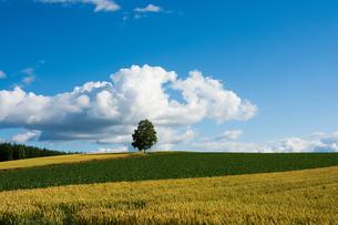 丘の上に立つシラカバの木の写真素材 [FYI01180592]