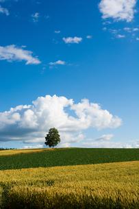 丘の上に立つシラカバの木の写真素材 [FYI01180593]