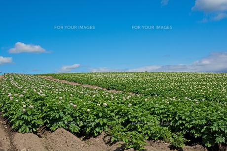 花が咲いたジャガイモ畑と青空の写真素材 [FYI01180617]