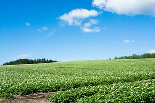 花が咲いたジャガイモ畑と青空の写真素材 [FYI01180618]