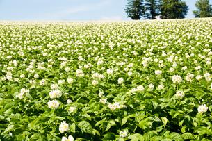 じゃがいもの白い花の写真素材 [FYI01180622]