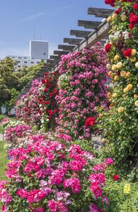 赤い薔薇園の写真素材 [FYI01180641]