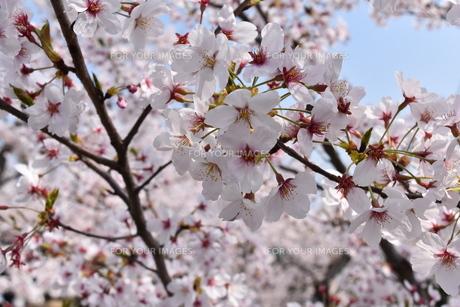 桜(アップ)の写真素材 [FYI01180768]