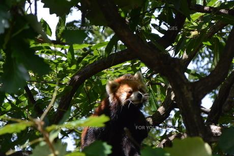 レッサーパンダの写真素材 [FYI01180797]