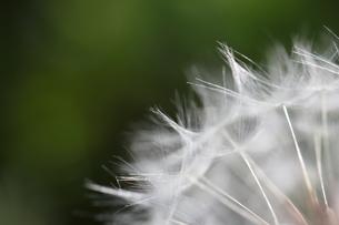 たんぽぽ 綿毛の写真素材 [FYI01180825]